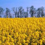 Cultivo de colza para elaborar biodiésel