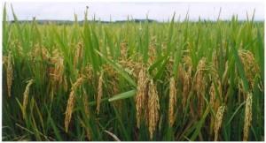 Cultivo de arroz en Gelsa, Aragón
