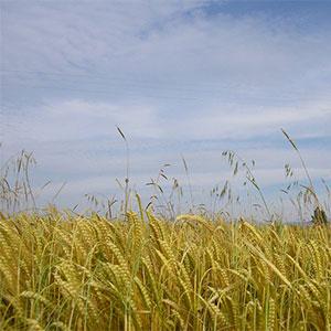 Cultivo de trigo en los Monegros, Aragón