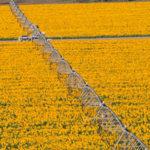 Riego mecanizado por aspersión en cultivo de girasol