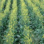 Cultivo de mostaza con pivote de riego