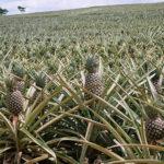 Cultivo de Piña en Costa Rica