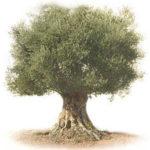 Necesidades de agua del olivo