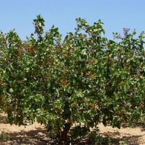 Producci n de pistacho ayudas para el cultivo de pistachos for Riego por goteo pistachos