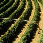 Riego con Pivot en cultivos de porte alto