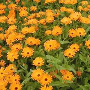 Cultivo de flores comestibles