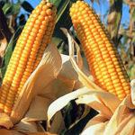 productos agrícolas modificados genéticamente