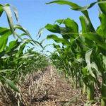 siembra directa de maíz