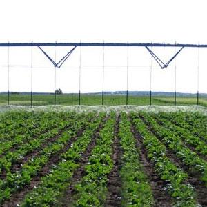 Cultivo de remolacha con riego aspersión Pivot
