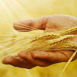 cultivo de trigo y cosechadora