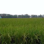 Cultivo de arroz con riego Pivot