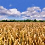 Campo de trigo duro harinero para celíacos