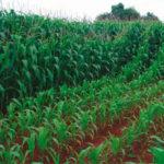 Cultivo de maíz con y sin fertilizante