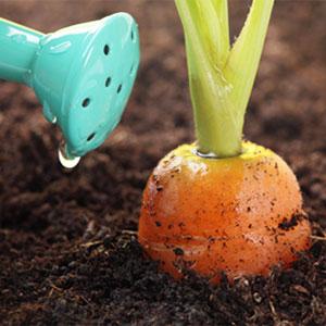 agua de riego en la zanahoria