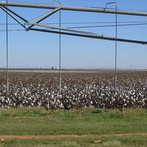 Riego por aspersión de algodón con Pivot