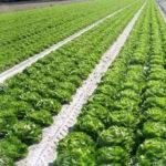 cultivo extensivo de hortícolas