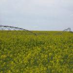 cultivo de la colza bajo riego pivot