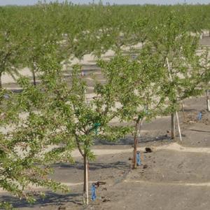 riego de una plantación de almendros