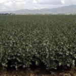 cultivo de brócoli con riego pivote