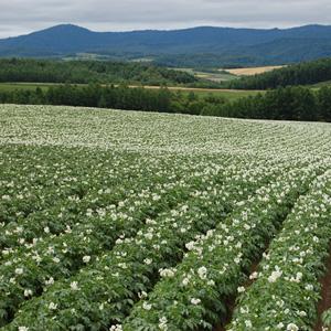 Cultivo de patata por aspersi n con sistemas de riego pivot for En cuanto tiempo se cosecha la tilapia