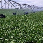 cultivo de soja con riego pivot