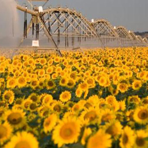 cultivo de girasol con sistemas de riego pivote central Western