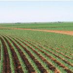 cultivo de judía verde con riego por pivote