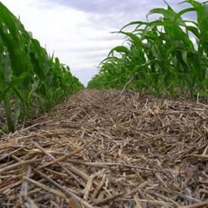 siembra directa en maíz