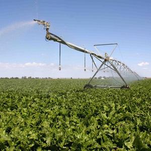 cultivo de remolacha azucarera con Pivot