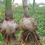 cultivar ajos con riego por goteo
