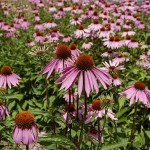 cultivo de plantas medicinales (equinácea)