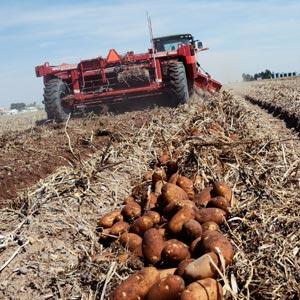 Proceso de selección de patatas