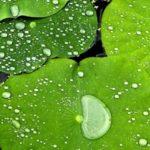 Hojas de loto que repelen el agua