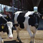 cabaña ganadera de la industria lechera