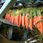 recolección de zanahoria