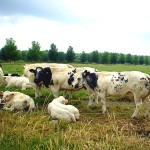 ganado bovino de raza blanca azul