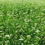 cultivo de trigo sarraceno
