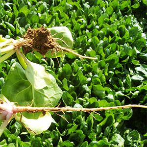 cantidad de agua aportada a las raíces