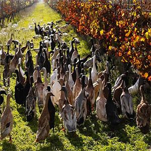 soluciones agrícolas con patos