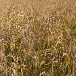 cultivo del arroz