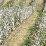 plantación de almendros