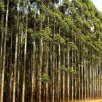 producción de eucalipto
