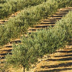fertirriego del olivo