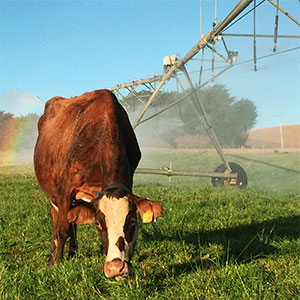 enfriar el ganado