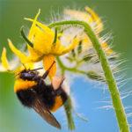 polinización con abejorros
